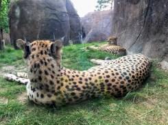 Leipzig Zoo cheetahs