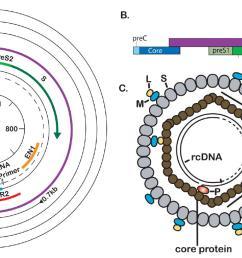 hbv genome organization [ 1524 x 729 Pixel ]