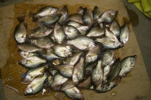 Mess of crappie back when the limit was 30+ per person