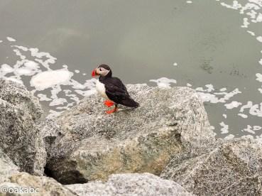 Puffin spotted at Jökulsárlón Glacier Lagoon