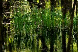 wetland reeds