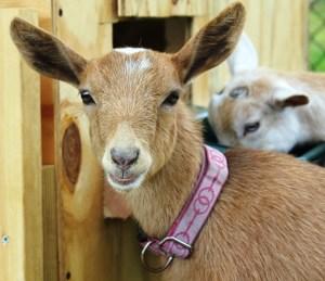 Nigerian Dwarf Goats as Back Yard companions