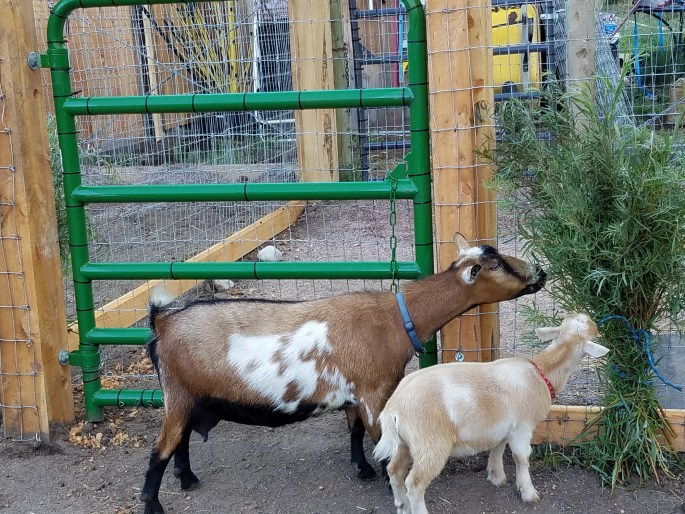 Oak Creek Goats - Snacking on Willows
