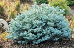 globe blue spruce