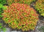 goldmound spirea