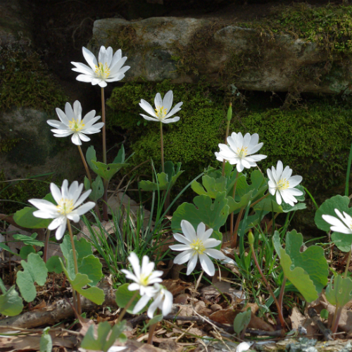Bloodroot Flowers and Stone Wall500