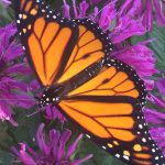 August 25, 10am – Monarch Walk at Our New Butterfly Preserve