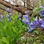 April 21, 10am – Bluebell Walk at Lebline Woods Preserve