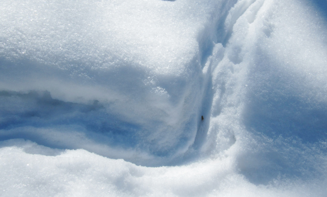 """Skunk tracks are very noticeable in deep snow. Their low to the ground bodies often leave a """"plowed"""" path."""