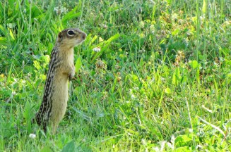 13-lined Ground Squirrels are true hibernators and won't reappear until late March or early April.