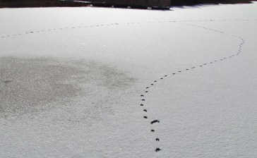 Both the eastern coyote and the red fox leave straight line tracks, unlike the tracks of a domestic dog