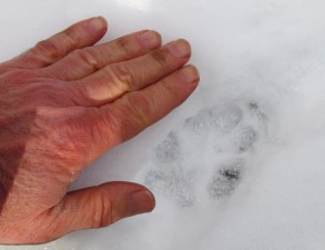 A coyote track has an oval like shape with the front toes close together