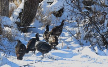 Turkey trails often lead to trees, for safe night roosting