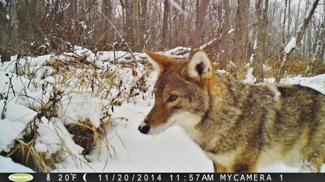 Eastern coyote captured on concealed trail camera at Rose Oaks County Park