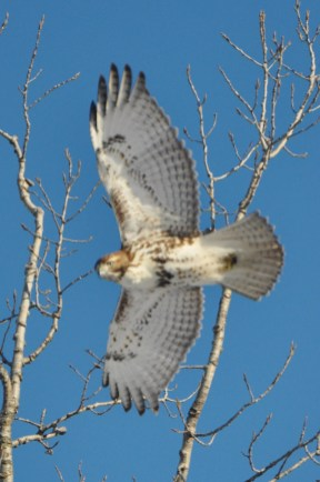 red tail blw4