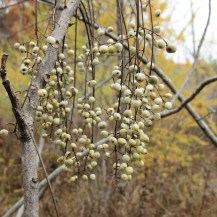 Whitish-gray poison ivy berries among branches.