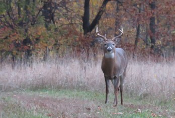A buck stands in a clearing in the woods staring right at the photographer.