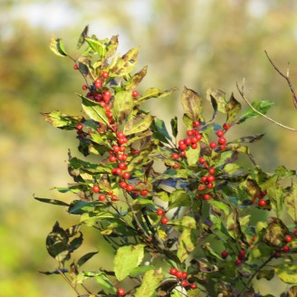 A close-up photo of winterberry. Leaves are green and berries are red.