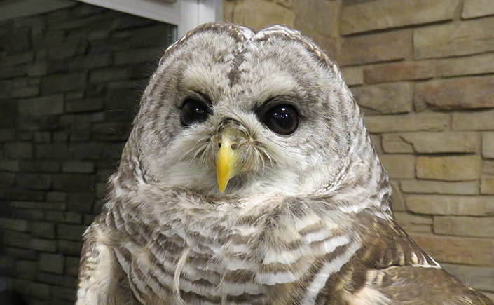 A close-up photograph of a Barred Owl taken indoors. The owl, with large brown eyes, a yellow beak, and brown-and-white-striped plumage, looks at the camera.
