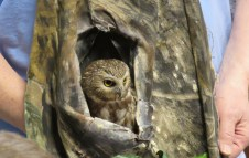 A close-up photo of a Northern Saw-whet Owl looking out of its portable, camouflage nest.