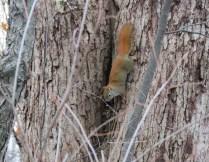 A squirrel runs head first down a tree.