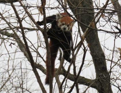 A red panda looks down from a tree.