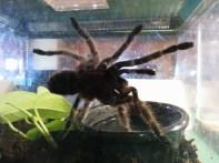 A tarantula in an aquarium