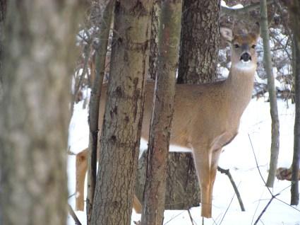deer in winter woods