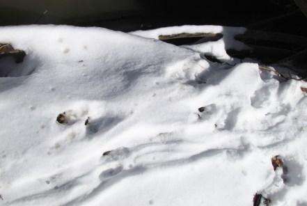 skunk tracks by creek