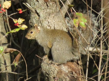 gray squirrel in trees
