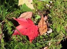 red maple on moss