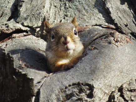 red squirrel emerging from knot hole in hickory tree