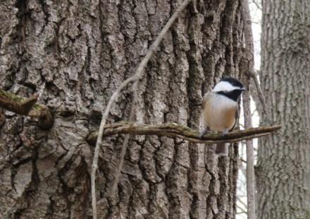 winter woods chickadee