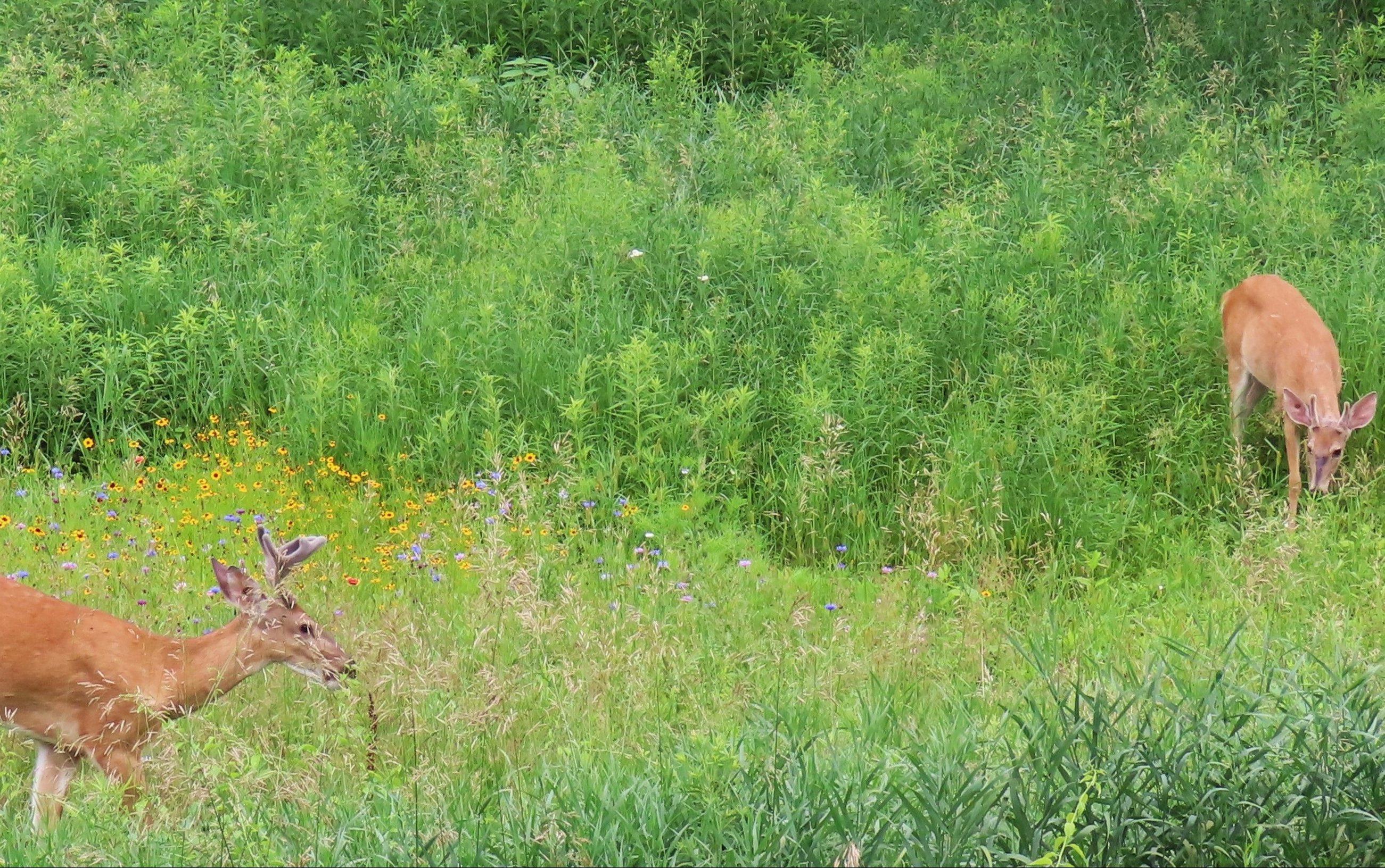 bucks in green meadow