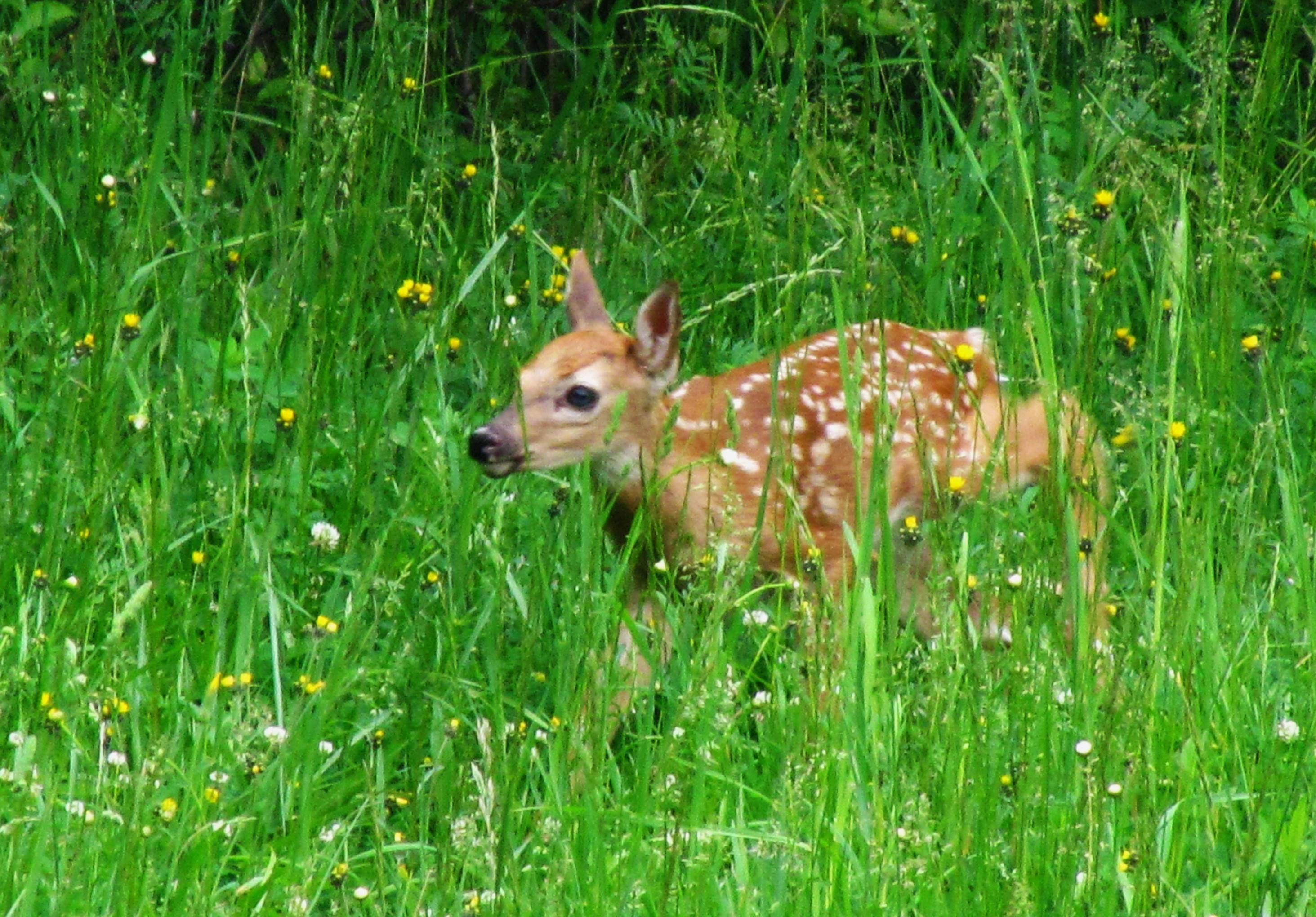 fawn in green meadow