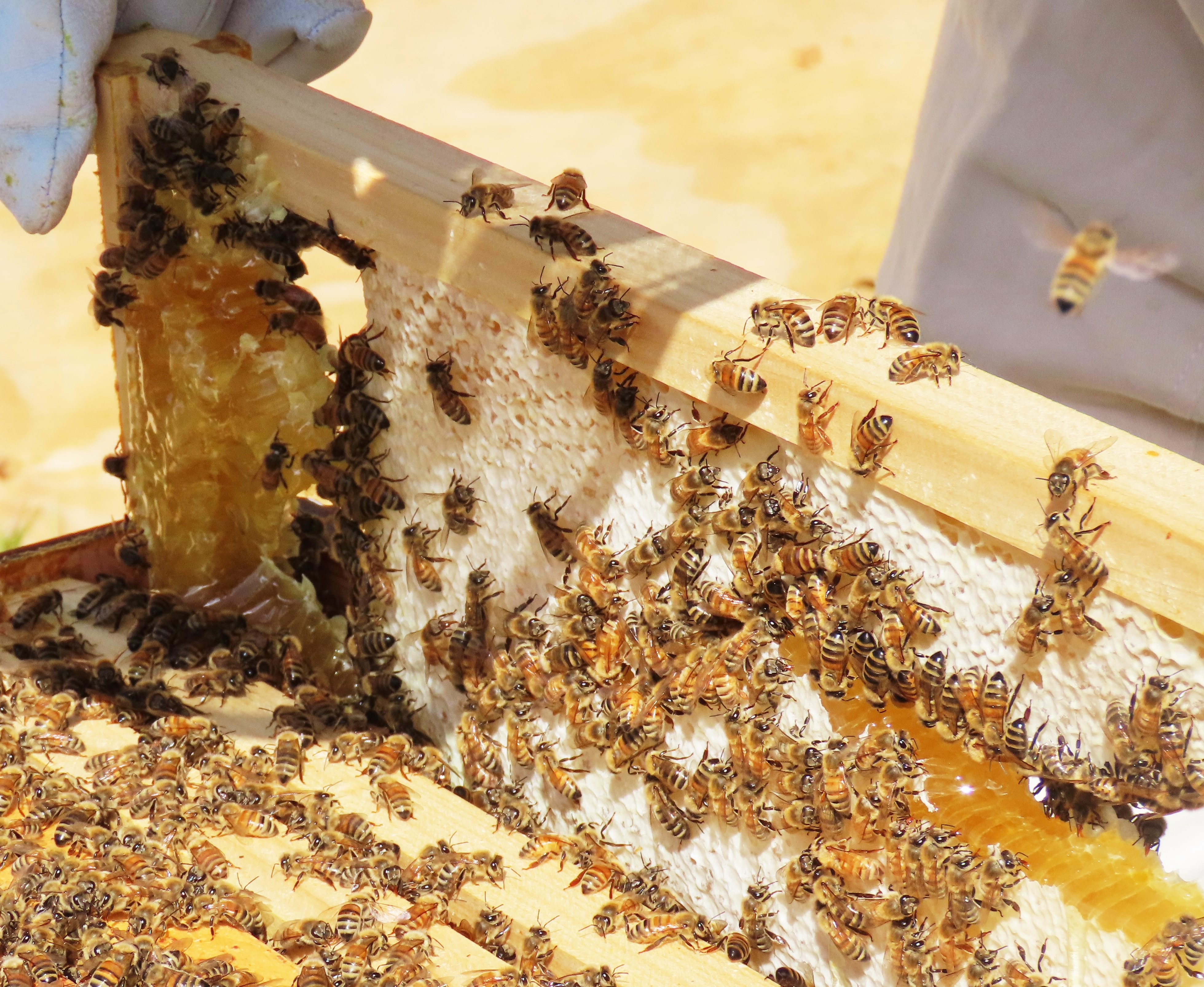 bee hive frame with honey