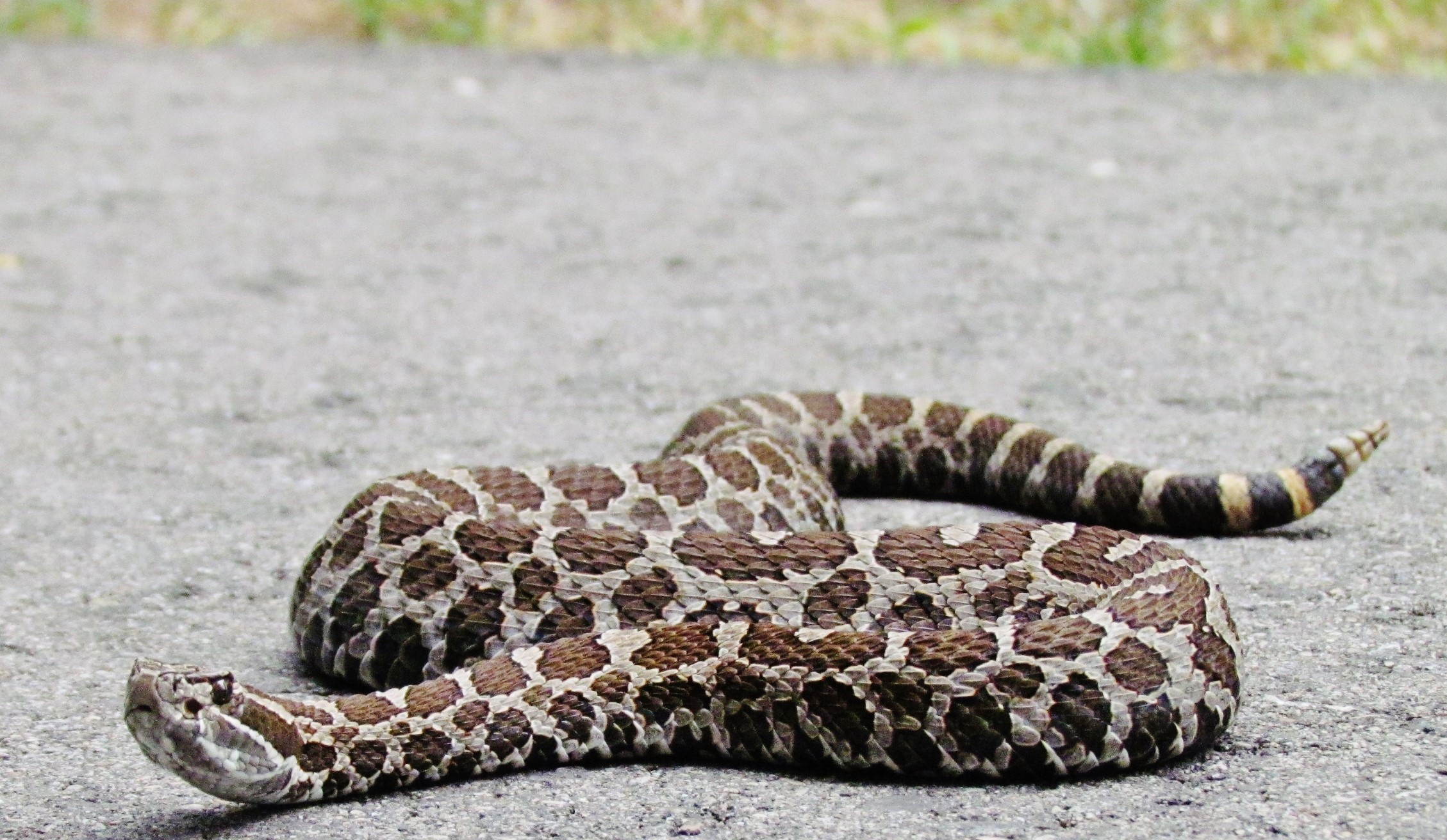 brown spotted rattlesnake