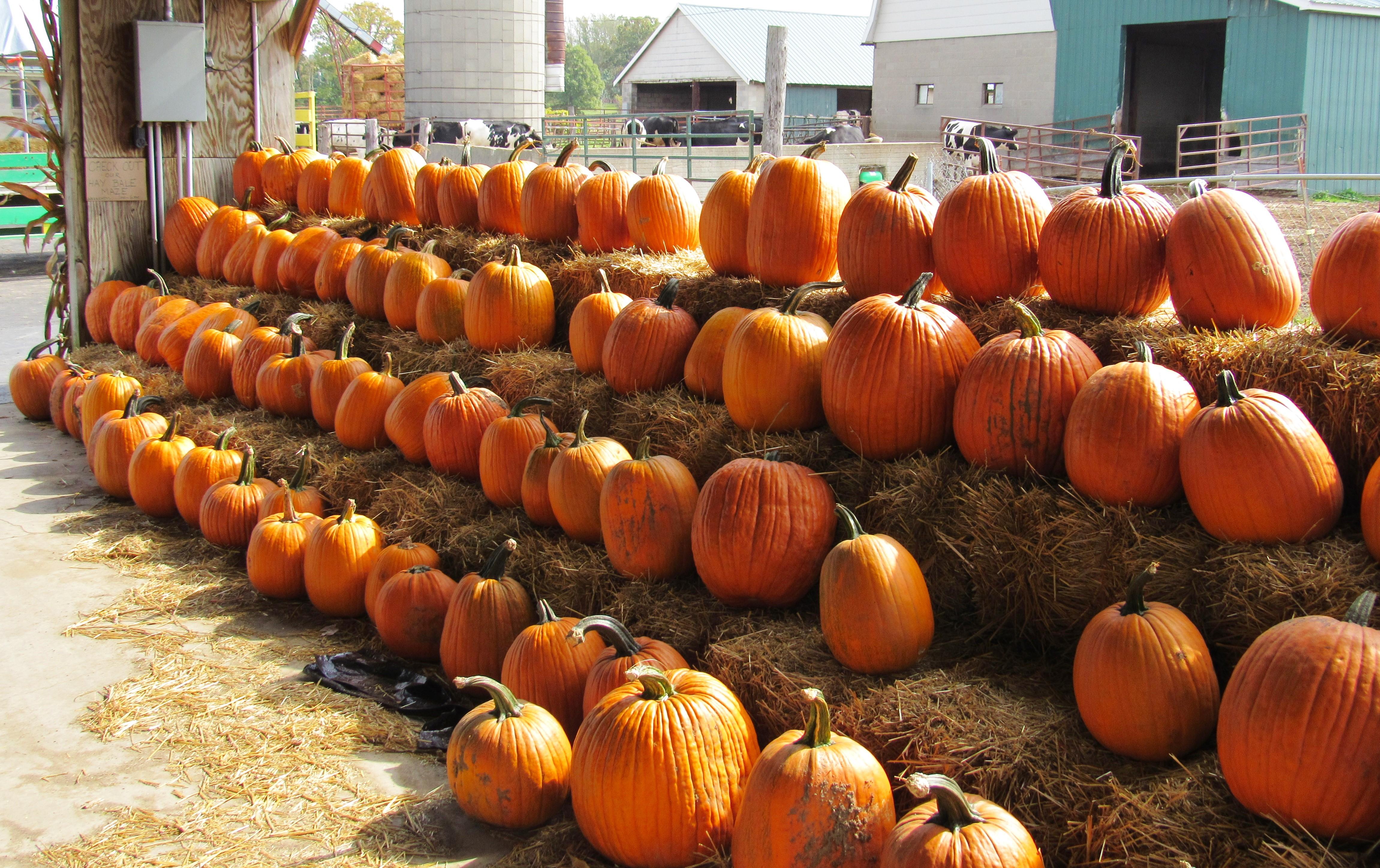 orange pumpkins on hay