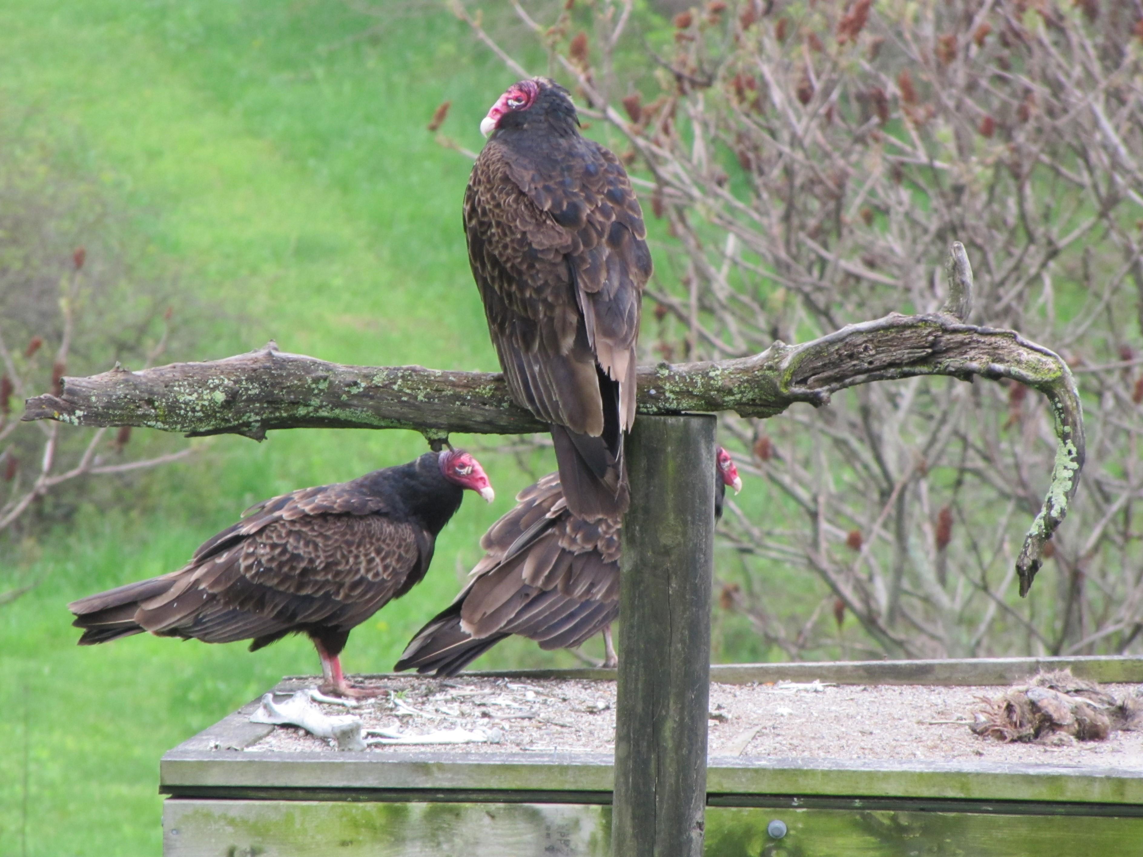 Three turkey vultures feeding
