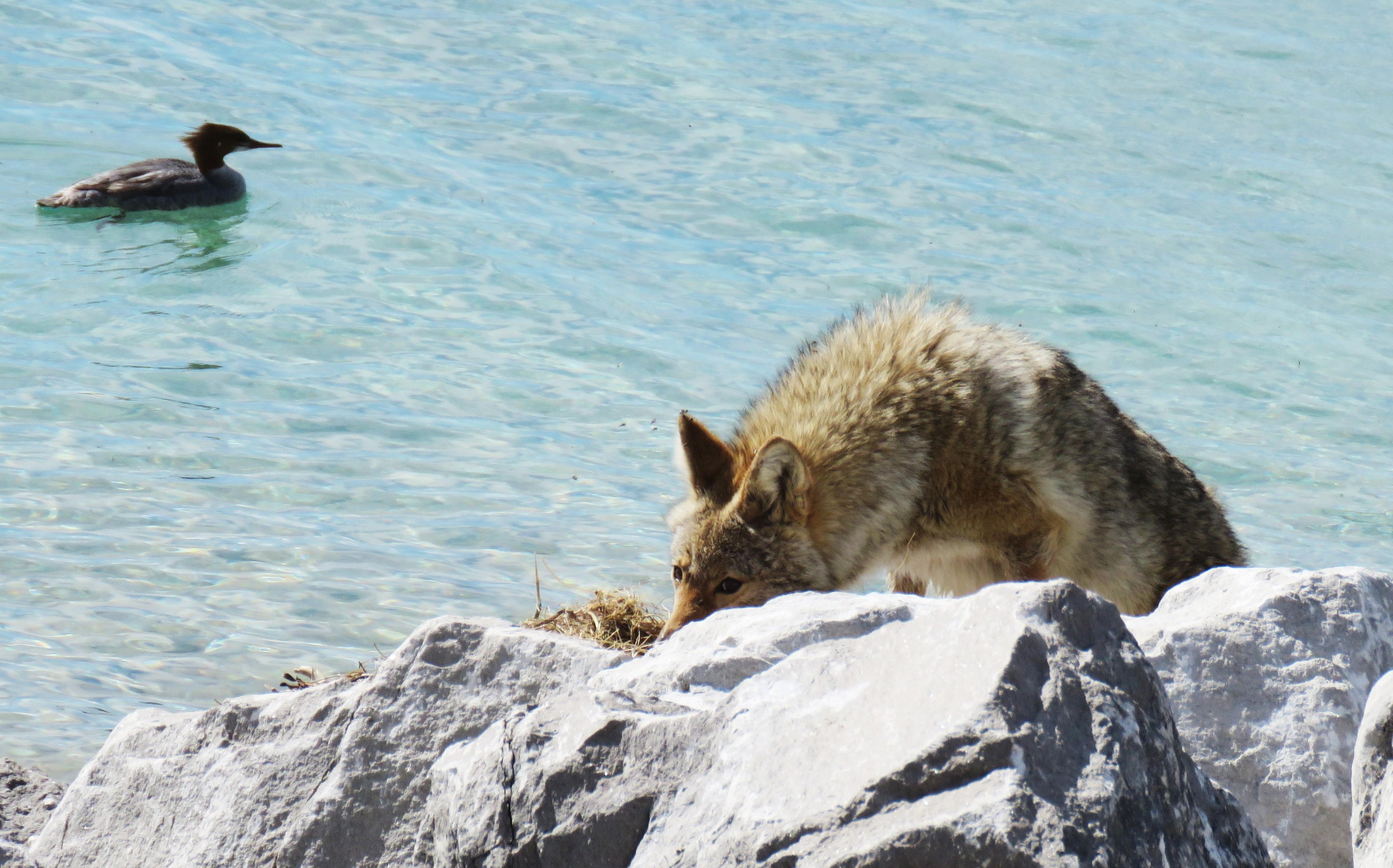coyote on shoreline