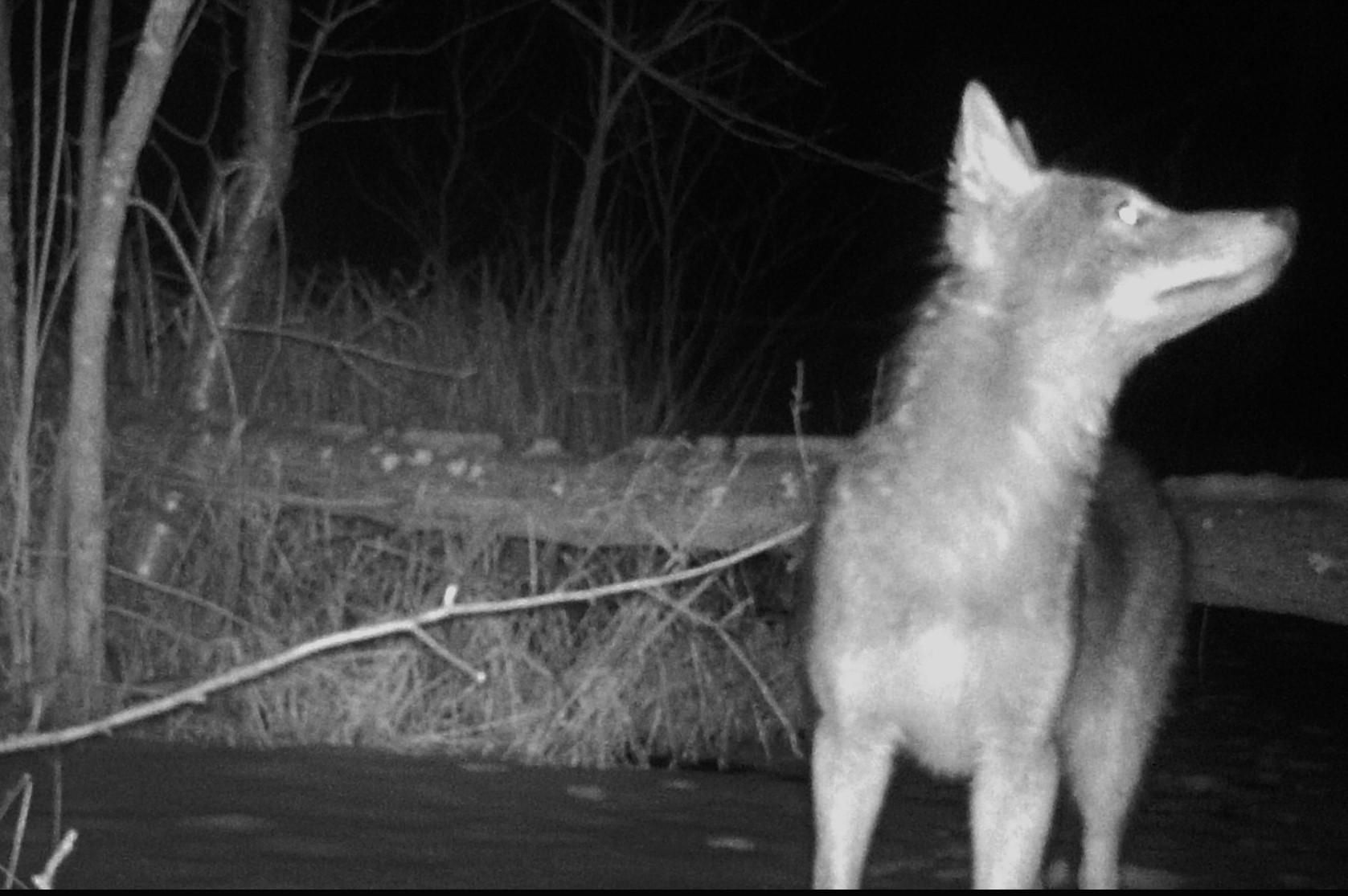 coyote caught on night camera