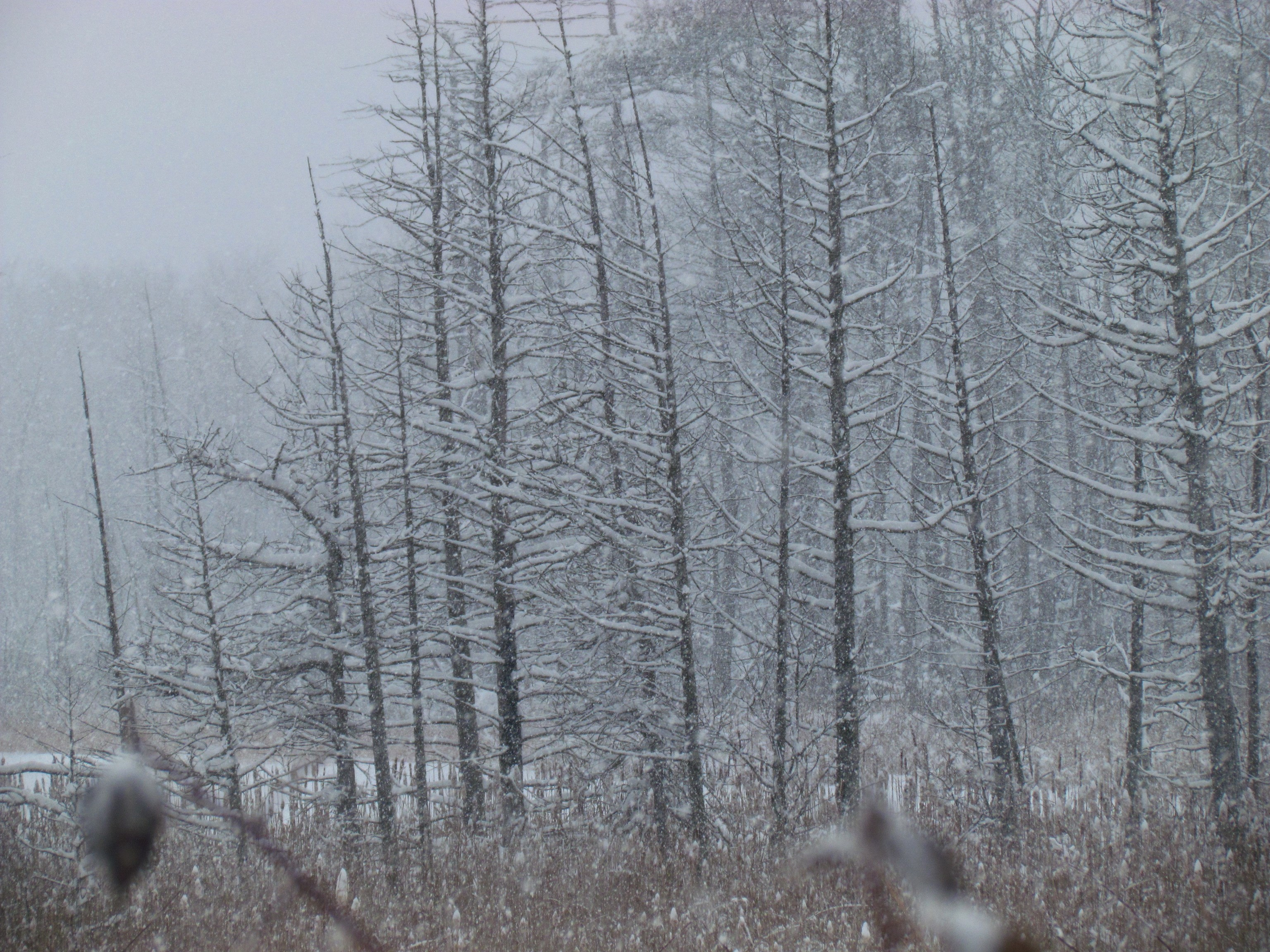 snowy tamarack trees