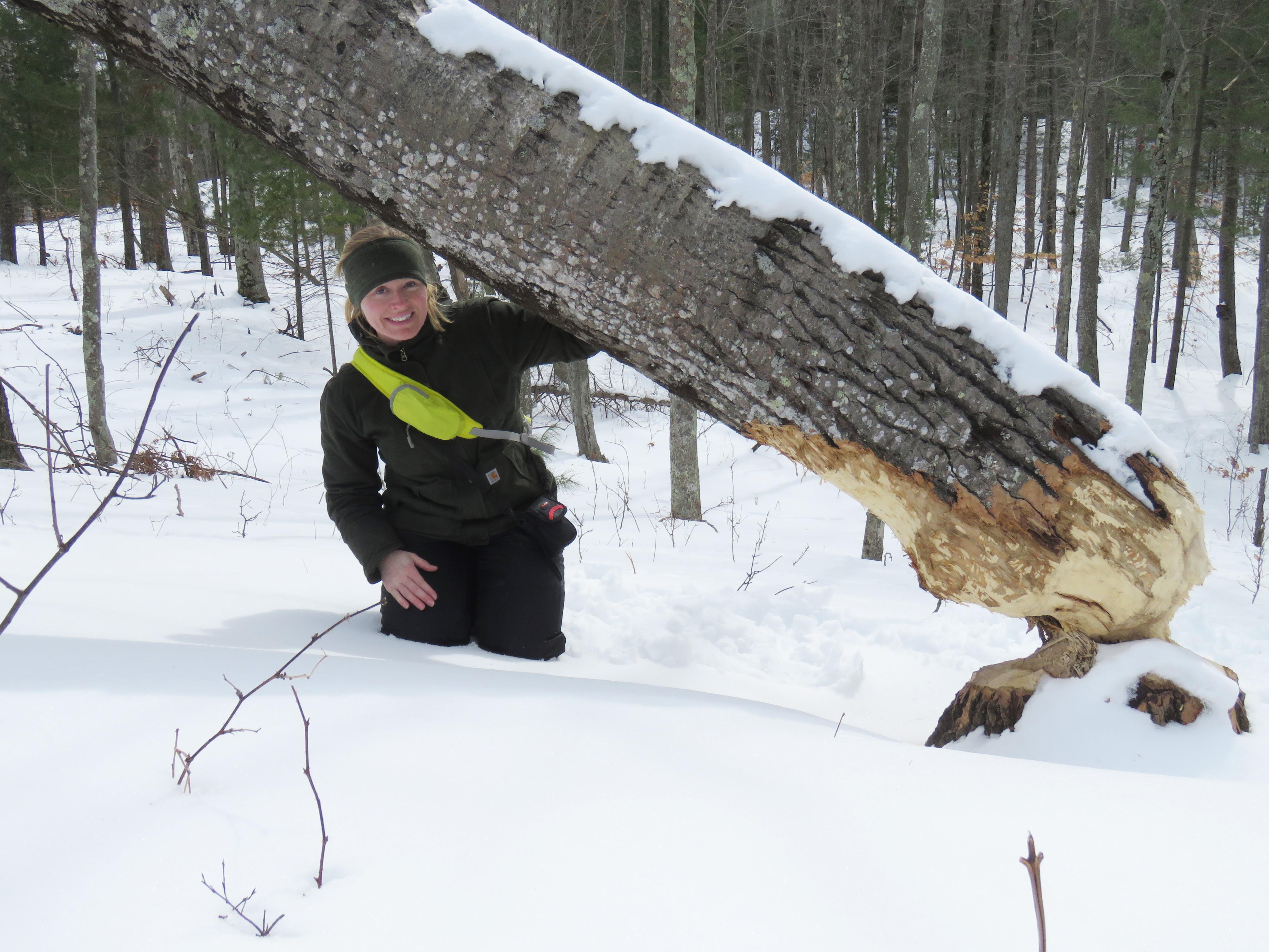 gnawed aspen tree in winter