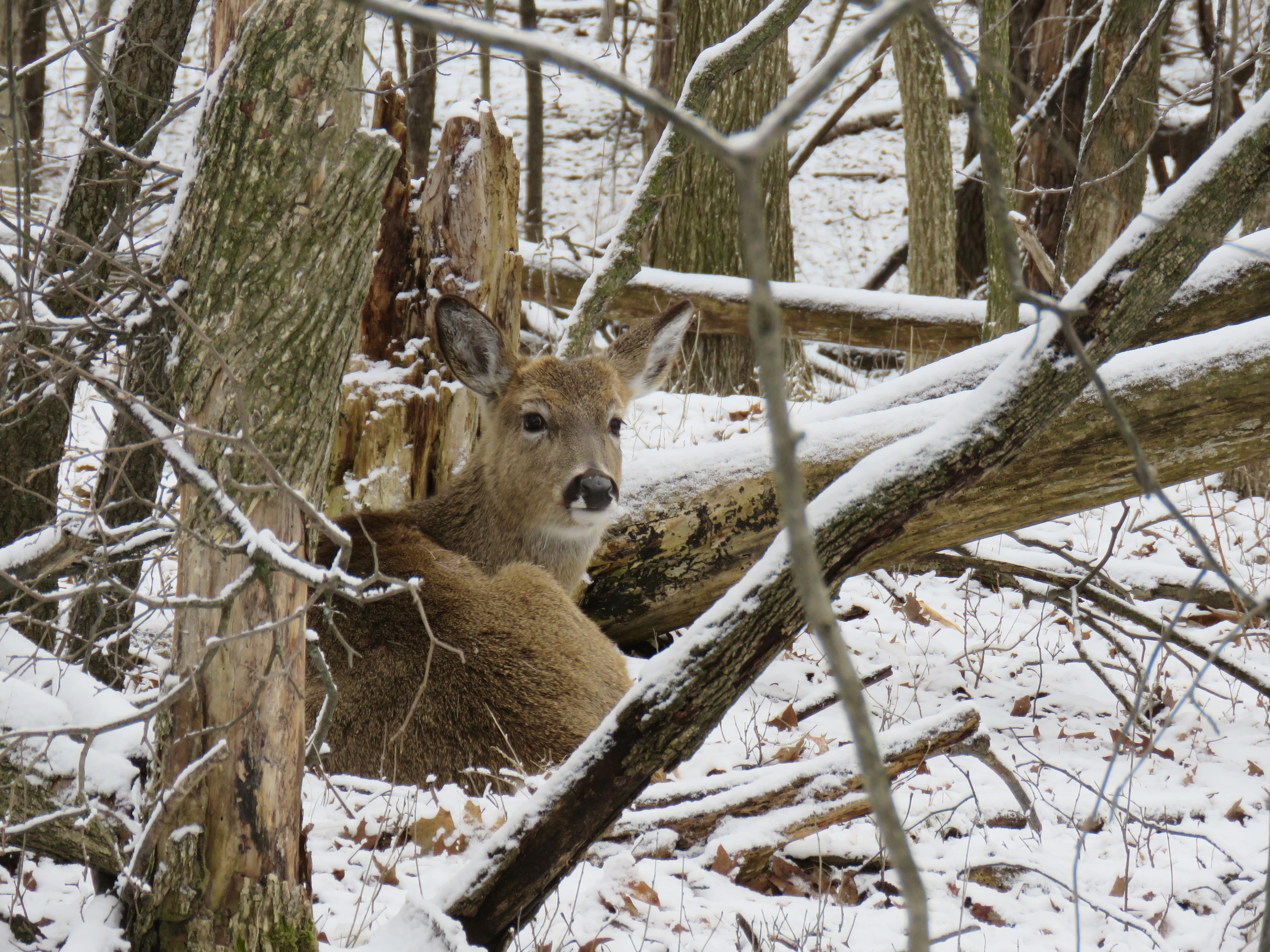 A deer beds down in a wooded area in the snow