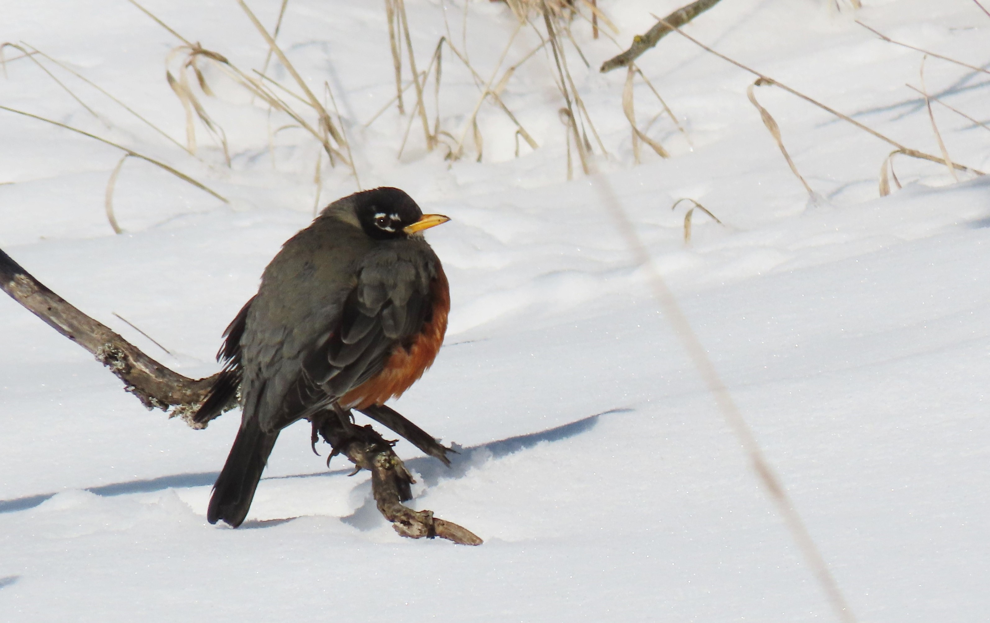 A robin perched on branch that protrudes from the snow