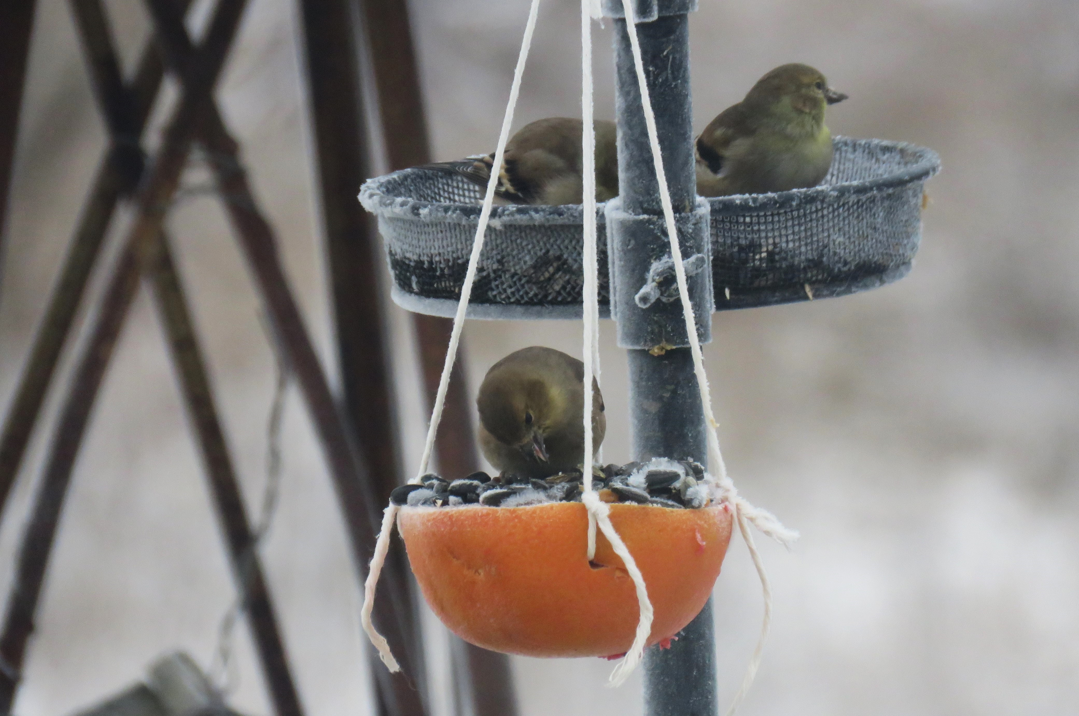 A bird eats from a grapefruit feeder filled with seeds and peanut butter