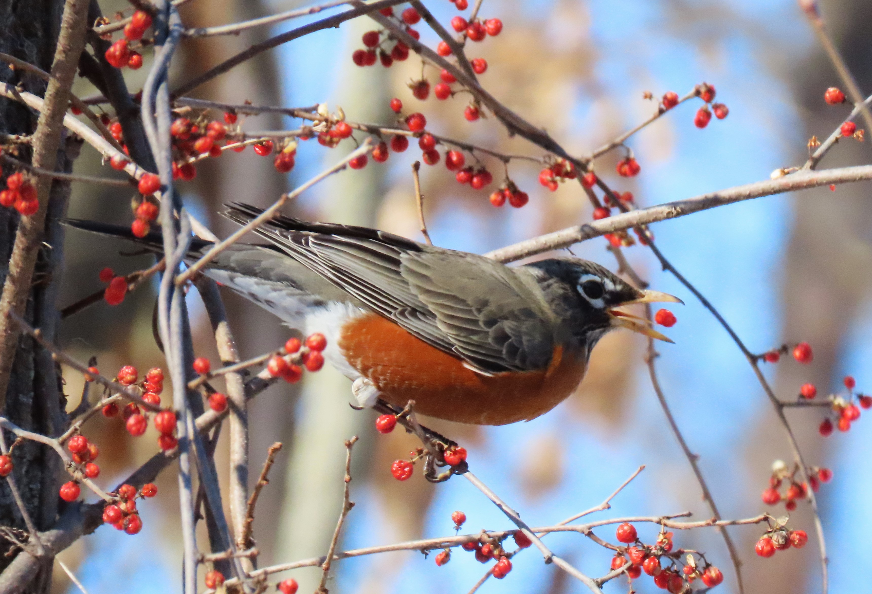 A Robin eats a red berry