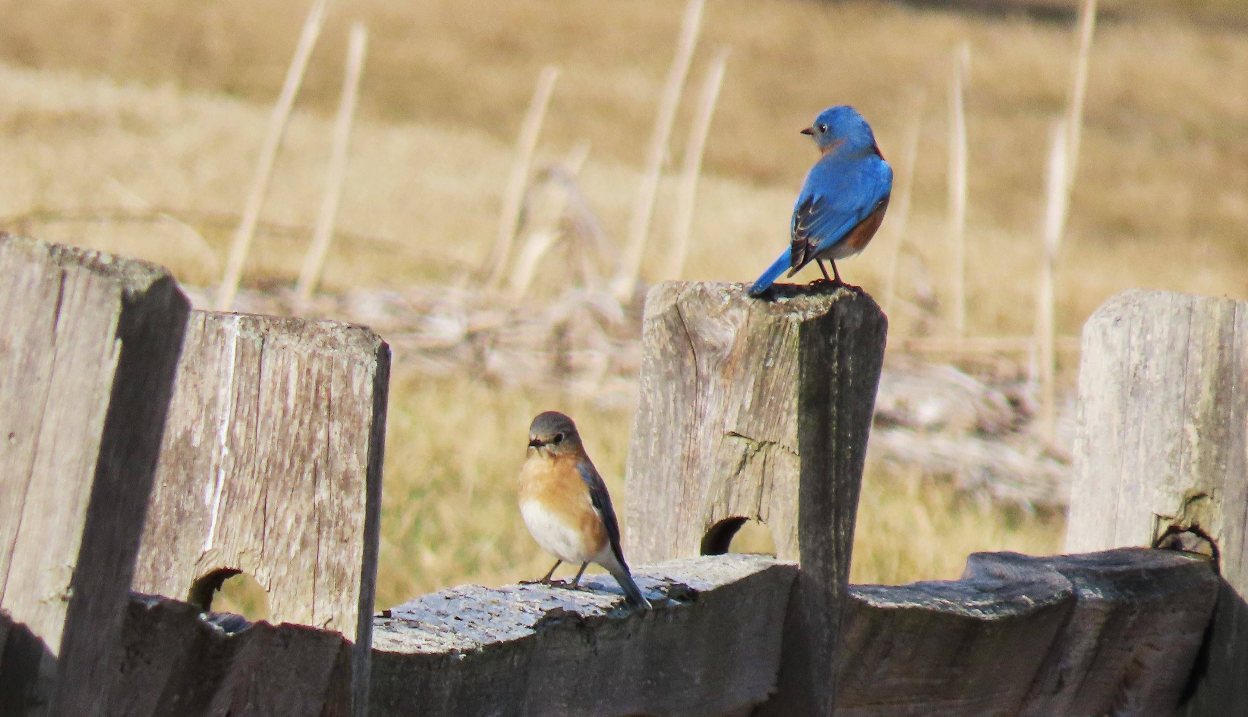 Two Eastern Bluebirds perched on a wooden fence post