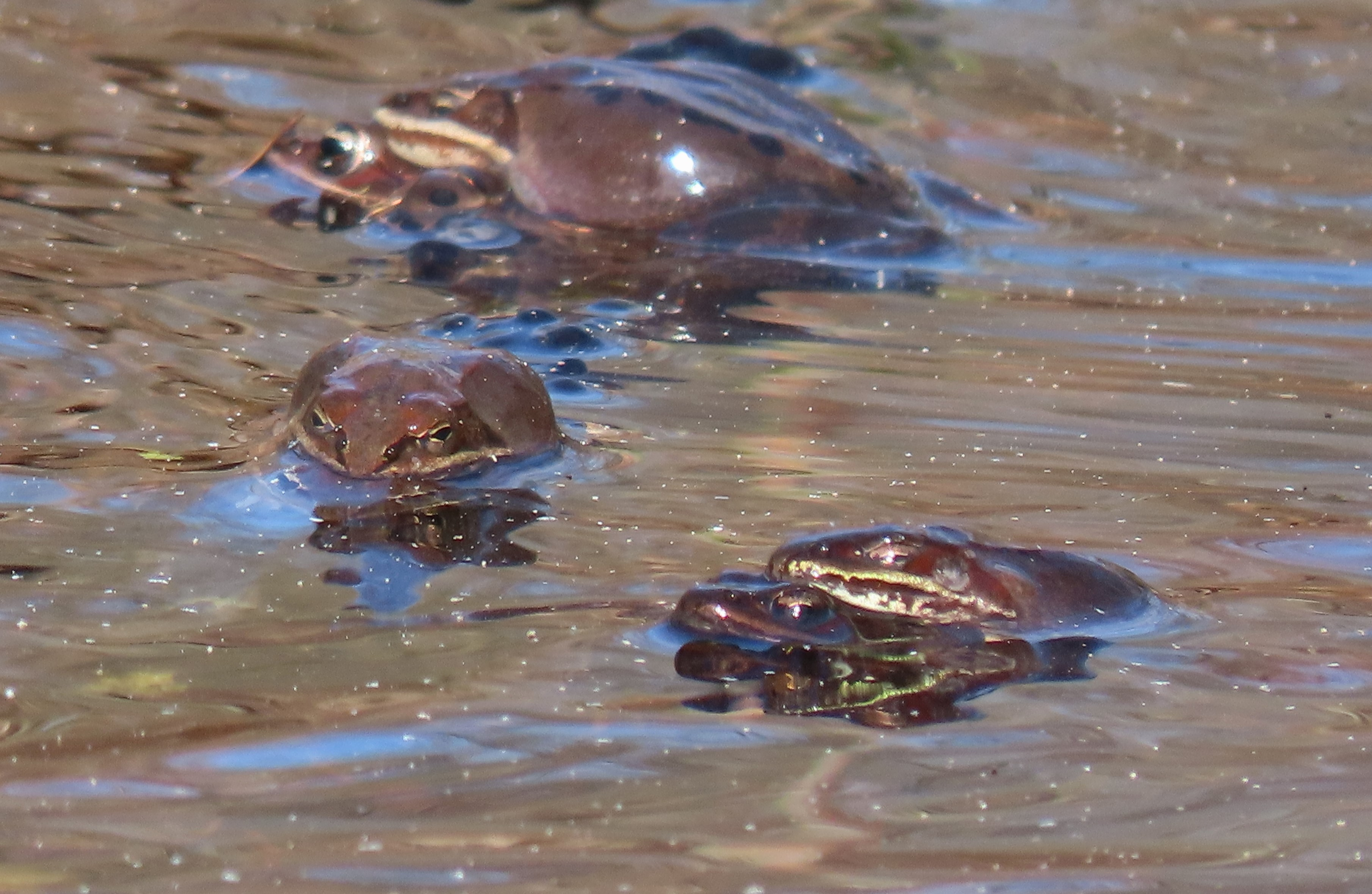 Three mating wood frog couples in a pond