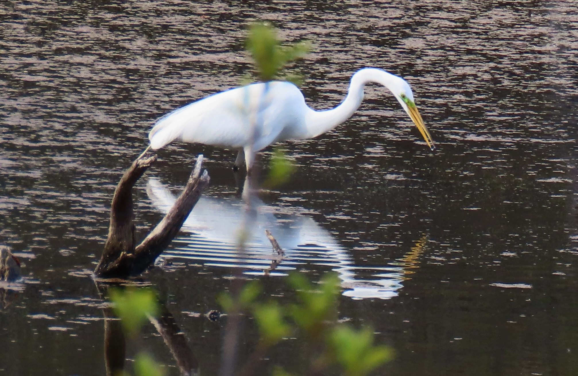 A Great Egret stabs its beak down into the water